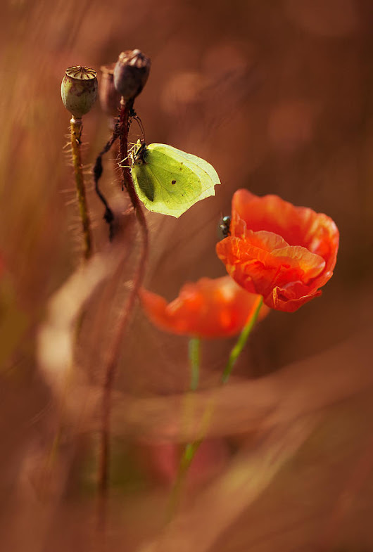 Impression With Red Poppies by Jaroslaw Blaminsky