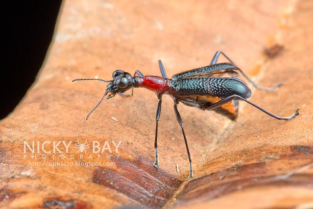 Tiger Beetle (Cicindelinae) - DSC_8882