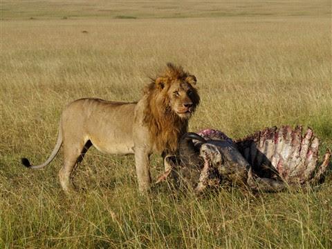 Lion on Kill