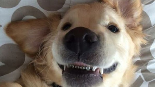 Adorable Golden Retriever Puppy Gets Braces On His Teeth And Goes Viral - Dogtime