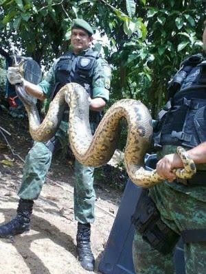 Cobra foi captura (Foto: Batalhão Ambiental/divulgação)