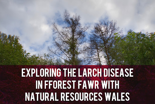 Exploring the Larch Disease in Fforest Fawr with Natural Resources Wales