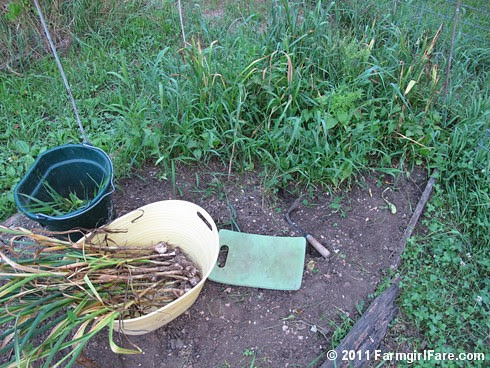 6 Volunteer hardneck garlic being dug up in my kitchen garden on 6-18-11 - FarmgirlFare.com