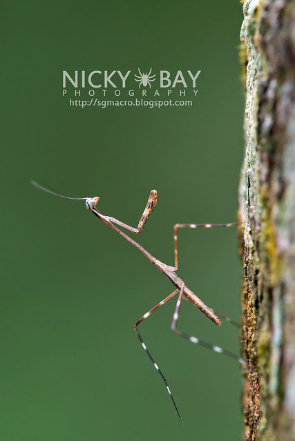 Praying Mantis (Mantodea) - DSC_7845