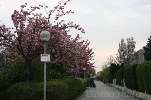 sakura, last spring