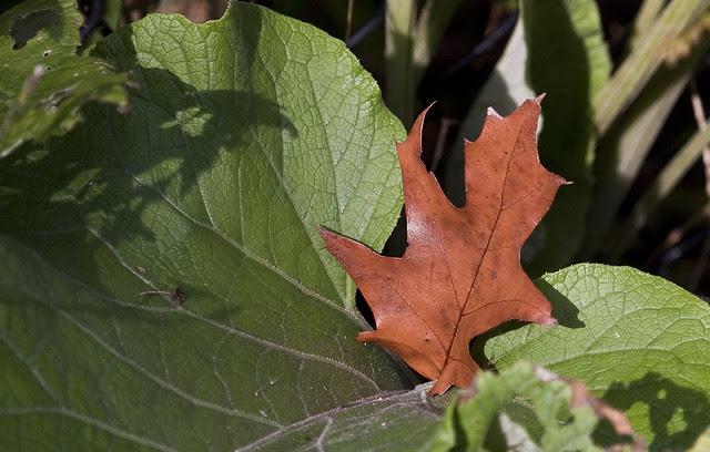 sheltered oak leaf
