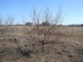 Fruit Tree Before Pruning