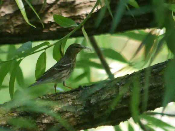 Ed Gaillard: birds &emdash; Blackpoll Warbler, Central park