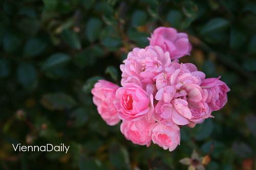 petit rose2