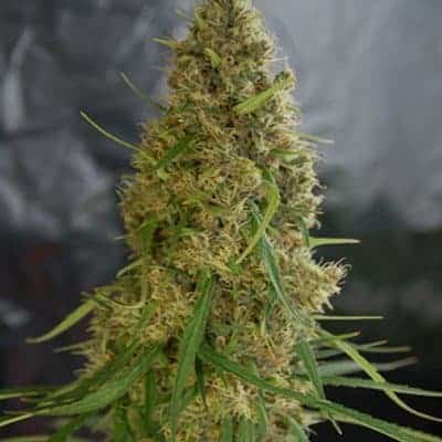 Light of Jah Seeds | Cannabisowl Reviews