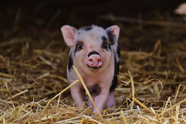 Piglet Study Sheds Light of How Stress is Bad For Your Body