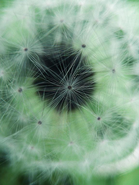 flower dandelion