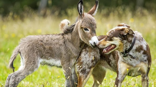 This unlikely friendship of baby donkey and pet dog is the cutest thing you'll see today