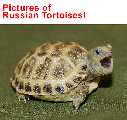 Pictures of Russian Tortoises -