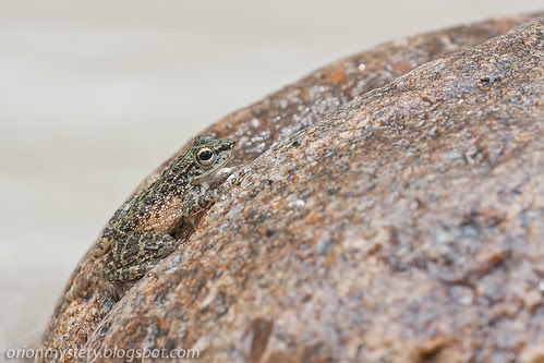 IMG_9508 copy Larut Torrent Frog (Amolops larutensis).