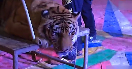 Circus ties endangered tiger down with rope so giggling customers can 'ride' once-proud beast and pose for photos