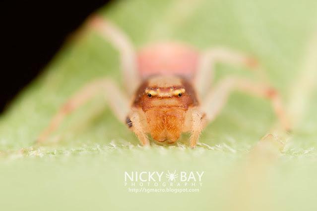Crab Spider (Thomisidae) - DSC_2289