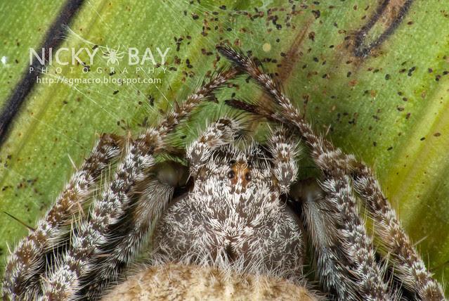 Orb Weaver Spider (Eriovixia sp.) - DSC_3152