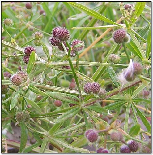 goosegrass2