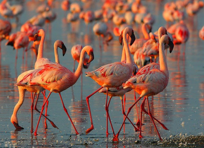 3 pink flamingos at Lake Nakuru in Kenya (800x610, 107Kb)