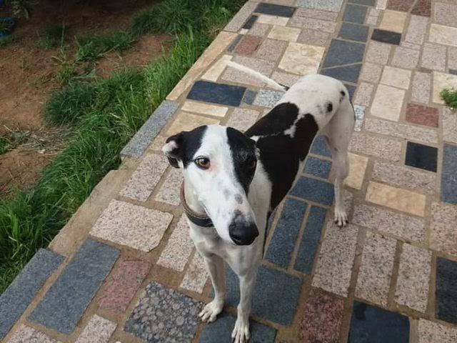 Odin – 1-2 year old male Greyhound