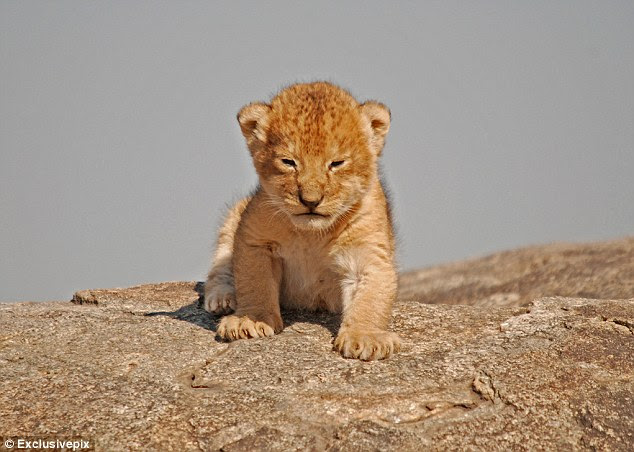 New to the world: The lion takes tentative steps as he explores Simba Kopjes, known as Pride Rock in the film