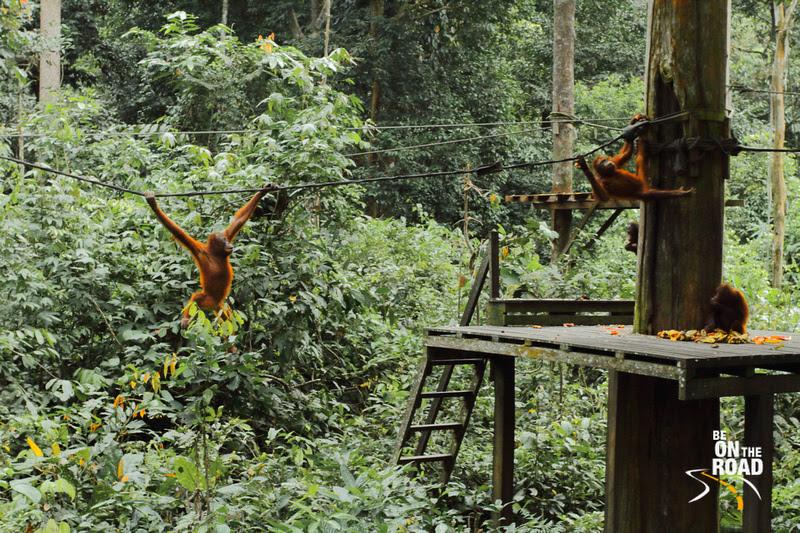 Orangutans having fun at Sepilok, Malaysia