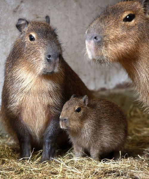 Capybara Life Cycle