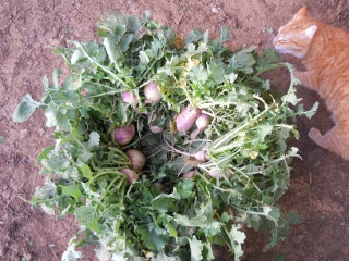 Turnips 2012 Collected in a Basket