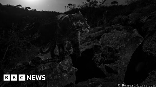 Black panther: Rare animal caught on camera in Kenya - BBC News