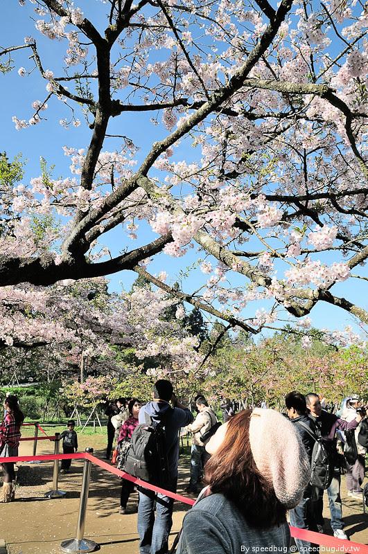阿里山櫻花季80