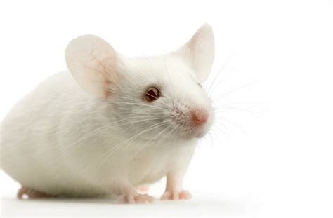 How To Get Rid Of Mice Fast And Naturally   Capelightrestaurant.com