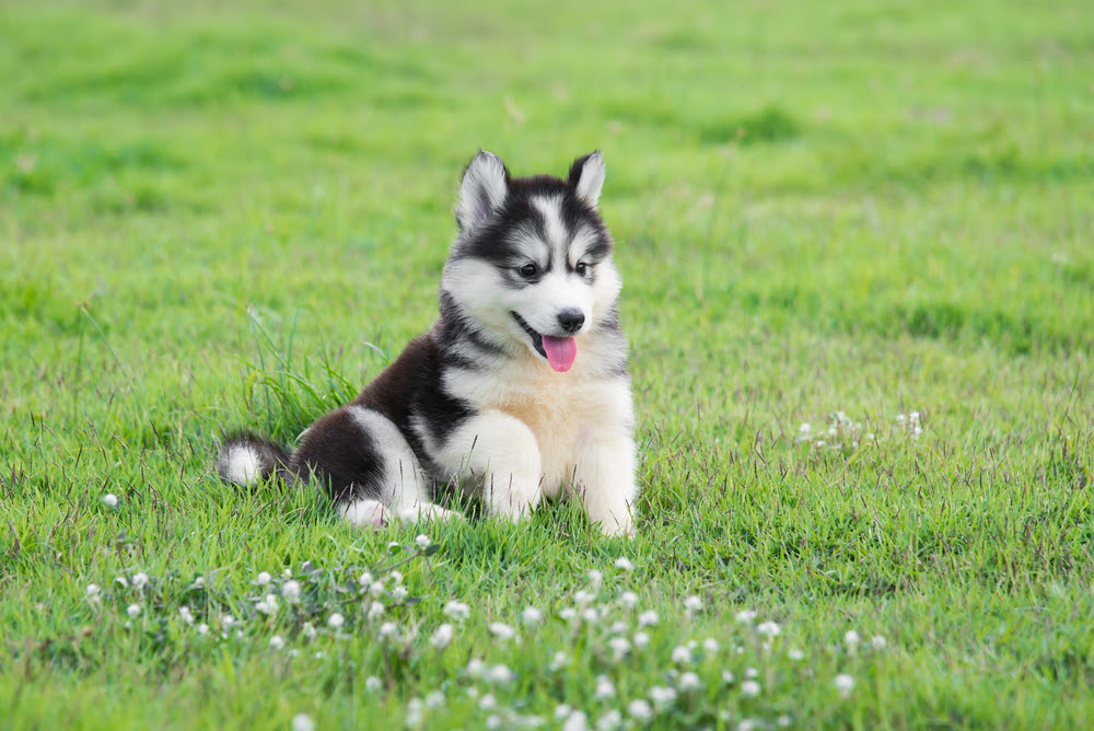 View Ad: Dog-Siberian Husky Puppy For Sale In Spain