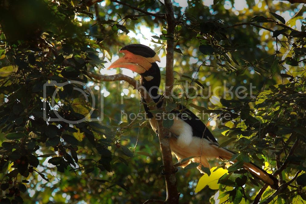 Malabar Pied Hornbill, Dandeli Wildlife Sanctuary