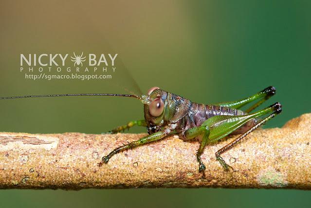 Cricket (Gryllidae) - DSC_9549