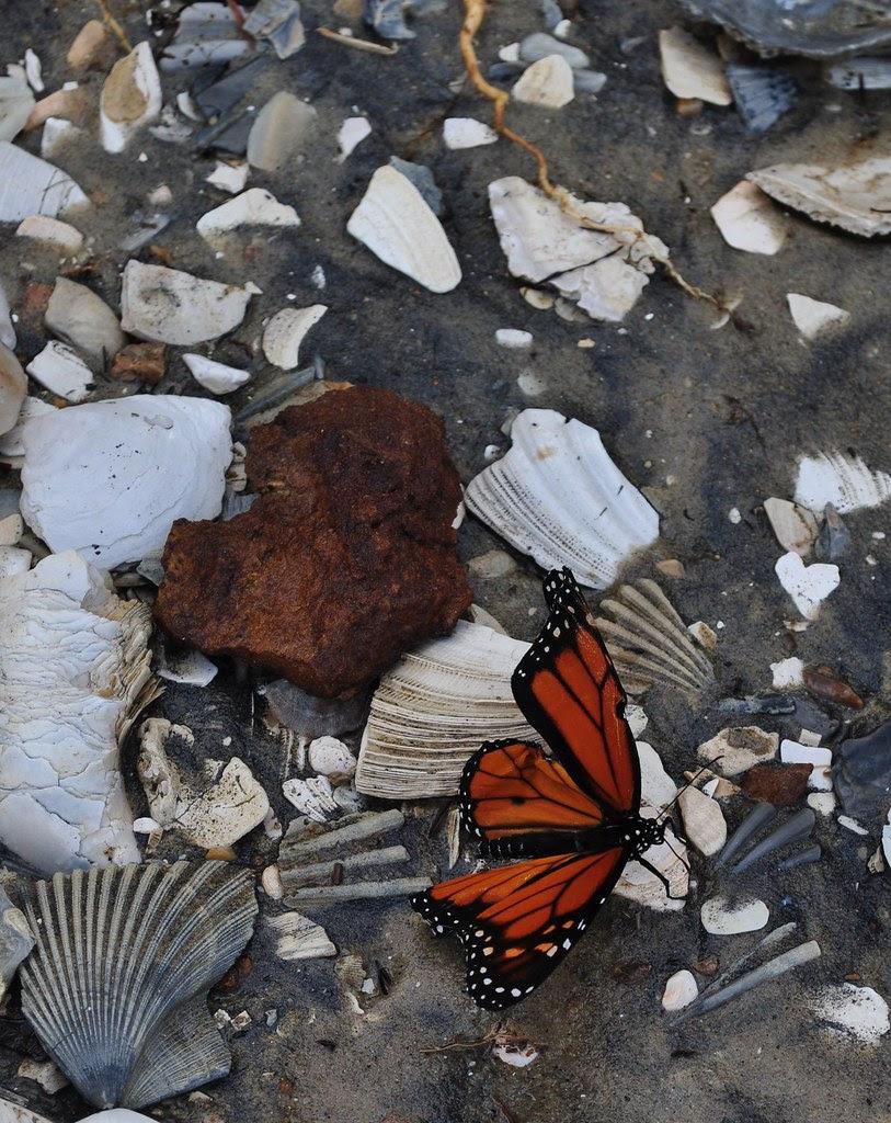 Beach Butterfly 1