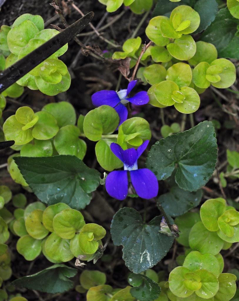 Viola papilionacea (Common Violet)