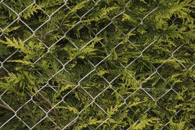 What Is a Good Evergreen Tree or Tall Shrub for a Privacy Fence? | Home Guides | SF Gate