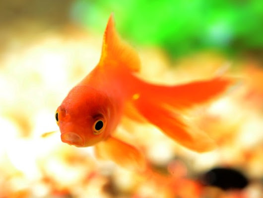 Word Problem Wednesday: How Long is a Goldfish?