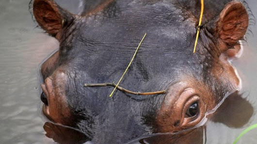Pablo Escobar's hippos: A growing problem - BBC News