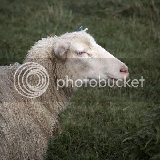 Dead sheep walking