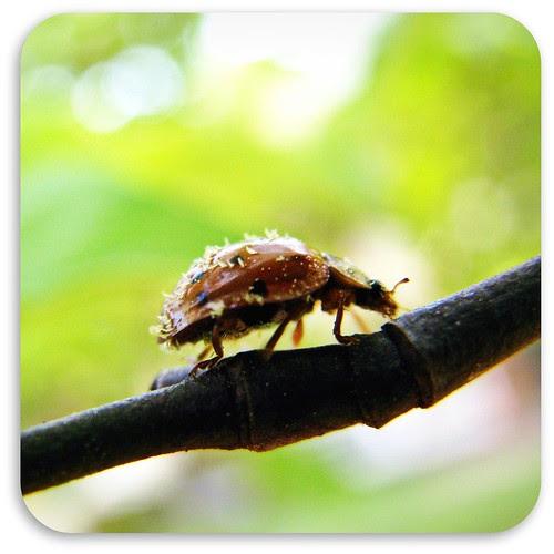 Ladybug adorned with pollen