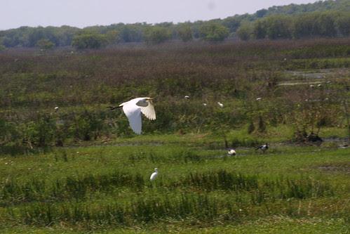 Egret in flight Fogg Dam