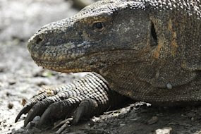 Indonesian Komodo dragon attack leaves two hospitalised