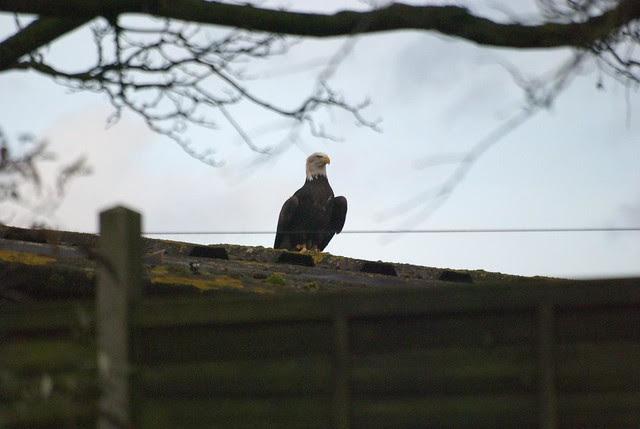 DSC_5383 Bald Eagle