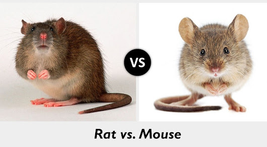 Mice vs. Rats – What's the difference?