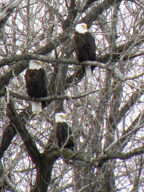 DSCN4796e Trio of Eagles