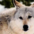 U.S. plans to drop gray wolves from endangered list