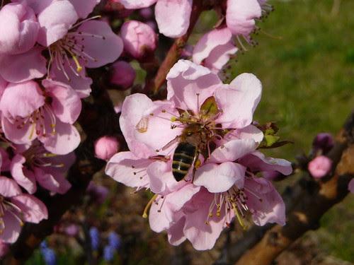 Bestäubung der Nektarinenbaumblüten (02)