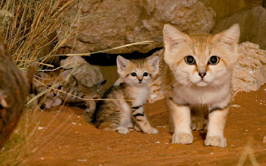 Extremely awesome sand cat as a pet | Sabay Share
